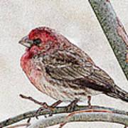 Finch Art Poster