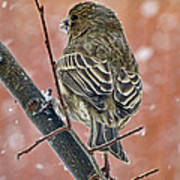 Finch On A Snowy Day Poster