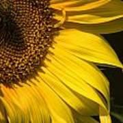 Find The Spider In The Sunflower Poster