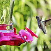Fine Feathered Hummingbird Poster