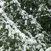 Fir Tree Branch Covered With Snow  Poster