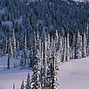 Fir Trees, Mount Rainier National Park Poster