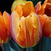 Fire Orange Tulip Flowers Poster