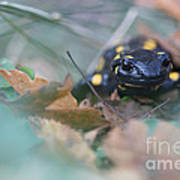 Fire Salamander Front View Poster