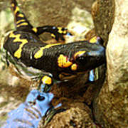 Fire Salamander  Poster by Lucy D