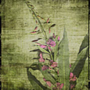 Fireweed - Featured In 'comfortable Art' Group Poster