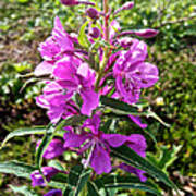 Fireweed In Katmai National Preserve-ak- Poster