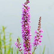 Fireweed In Mist Poster