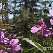 Fireweed Number 10  Poster