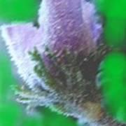 First Spring Flower Poster