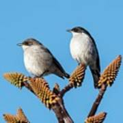 Fiscal Flycatcher Pair Poster