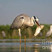 Fishing Grey Heron Poster