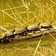 Five Turtles On A Log Poster