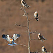 Five White-tailed Kite Siblings Poster