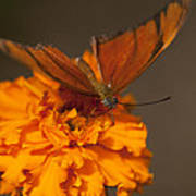 Flambeau Butterfly Poster