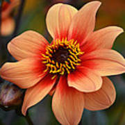 Flamboyant Dahlia. Poster