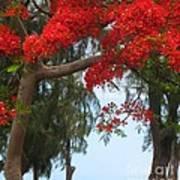 Flamboyant - Ile De La Reunion - Reunion Island Poster by Francoise Leandre