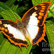 Flame Bordered Charaxes Butterfly Poster