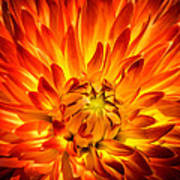Flaming Dahlia - Paintography Poster