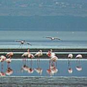 Flamingo On Lake Nakuru Poster
