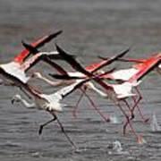 Flamingoes In Flight Poster