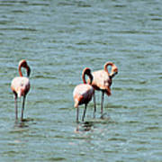 Flamingos Gathering Together Poster