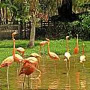 Flamingos Wading Poster