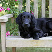 Flat-coated Retriever Puppy Poster