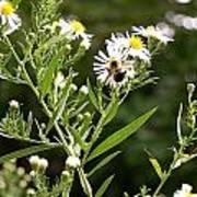 Fleabane Bee Poster