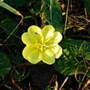 Fleur Jaune Couverte De Rosee Poster