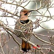 Flicker - Alabama State Bird - Attention Poster