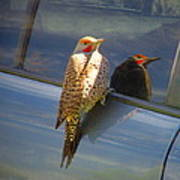 Yellow Shafted Northern Flicker Hanging Around Poster