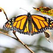 Flirting Monarch Poster