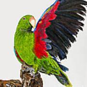 Flirting Parrot By Barbara Heinrichs Poster