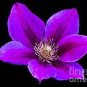 Floating Clematis Poster
