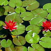 Floating Red Water Lilly Flowers On Pond Poster