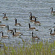 Flock Of Canada Geese   #7116 Poster