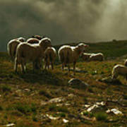 Flock Of Sheep Poster