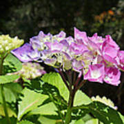 Floral Art Photography Pink Lavender Hydrangeas Poster