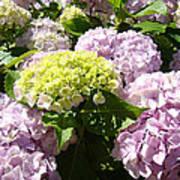 Floral Pink Lavender Hydrangea Garden Art Prints Poster