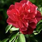 Floribunda Rose 8978 Poster