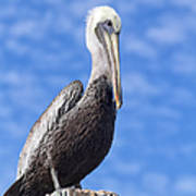 Florida Brown Pelican Poster by Kim Hojnacki