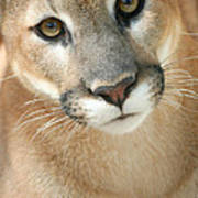 Florida Panther Poster by Karen Lindquist