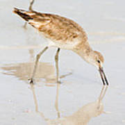 Florida Shorebirds - Willets In Their Summer Finery Poster