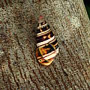 Florida Tree Snail. Everglades N.p. Poster