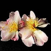 Flower Azalea. Poster