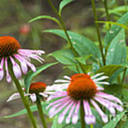 Flower - Cone Flower- Luther Fine Art Poster