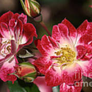Flower-cream-pink-red-rose Poster