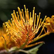 Flower-grevillea-australian Native Poster