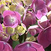 Flower-hydrangea Pink Poster
